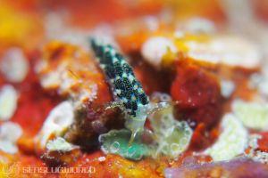 ゴシキミノウミウシ Trinchesia diversicolor