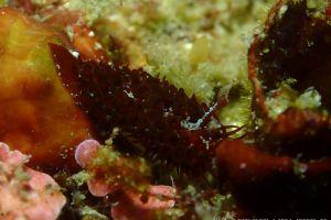 ショウジョウウミウシ Madrella ferruginosa