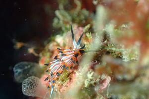 ツマグロミノウミウシ Eubranchus mimeticus