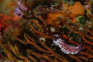 スミゾメミノウミウシ Protaeolidiella atra