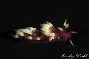 ローズミノウミウシ Trinchesia sp.22