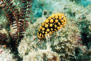 フィリディア・ムルティトゥベルクラタ Phyllidia multituberculata