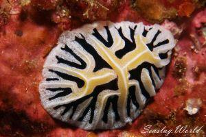 ユキヤマウミウシ Reticulidia fungia