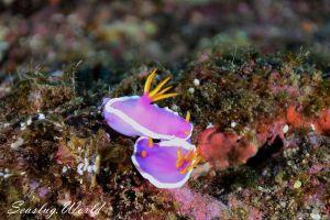 カグヤヒメウミウシ Hypselodoris variobranchia