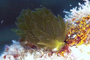ポリブランチア・サマンサアエ Polybranchia samanthae