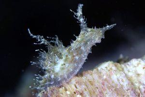 ブルサテッラ・オケッリゲラ Bursatella ocelligera