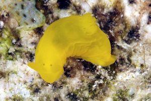 ウスギヌウミウシ Gymnodoris subflava