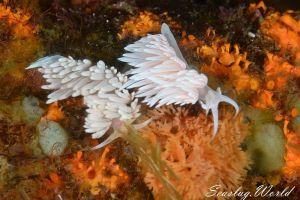 サクラミノウミウシ Sakuraeolis sakuracea