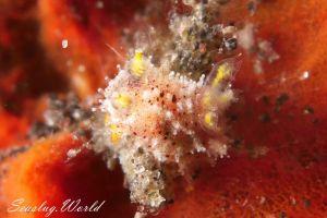 フジタウミウシ属の一種 8 Polycera sp. 8