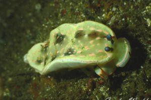 ハナオトメウミウシ Dermatobranchus ornatus