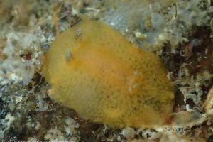 ビロウドウミウシ属の一種 9 Thordisa sp. 9