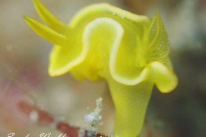 サフランイロウミウシ Diversidoris crocea