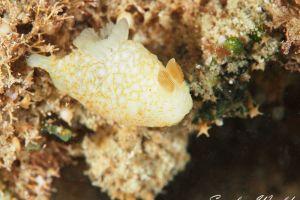 オキナワキヌハダウミウシ Gymnodoris okinawae