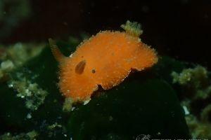 ヒメチシオウミウシ Thordisa sanguinea