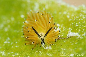 イリオモテモウミウシ Costasiella sp. 4