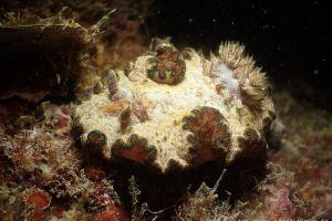 モンジャウミウシ Glossodoris cf. cincta