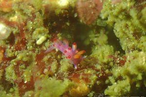セスジミノウミウシ属の一種 5 Coryphellina sp. 5