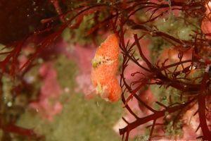 ヒオドシウミウシ Sclerodoris rubicunda