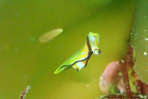 クロフチウミコチョウ Siphopteron nigromarginatum
