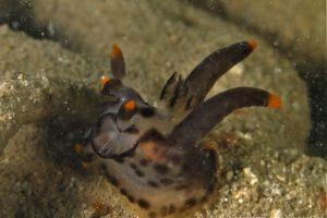 ミズタマウミウシ属の一種 3 Thecacera sp. 3