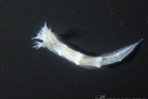 シロハナガサウミウシ