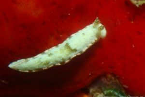 ロドマンオトメウミウシ