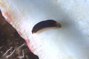 クロヒメウミウシ Metaruncina setoensis
