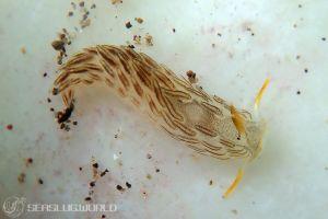 カスミミノウミウシ属の一種 11