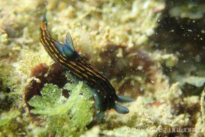 リュウグウウミウシ Roboastra gracilis