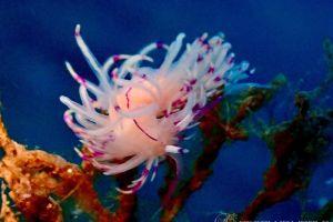 サンドラミノウミウシ Unidentia sandramillenae