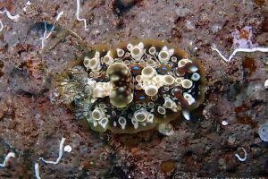 ミヤコウミウシ Dendrodoris krusensternii