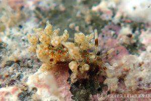 ホリミノウミウシ属の一種 29 Eubranchus sp.29