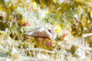トウモンウミコチョウ Sagaminopteron psychedelicum
