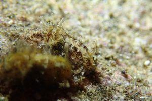 クロスジアメフラシ Stylocheilus striatus