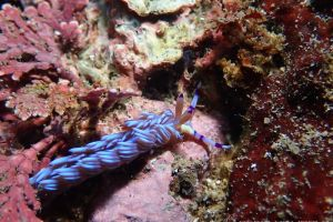 ムカデミノウミウシ Pteraeolidia semperi