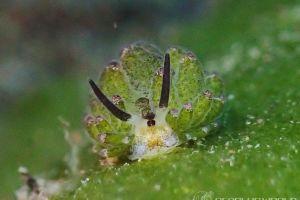 クサイロモウミウシ Costasiella paweli