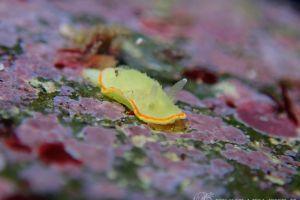 ミツイラメリウミウシ Diaphorodoris mitsuii