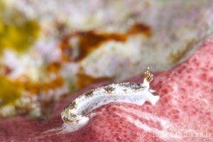 クチヒゲオトメウミウシ Dermatobranchus fortunatus