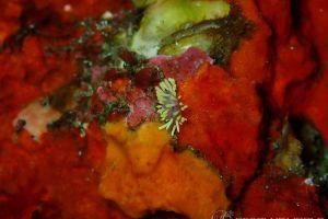 コガネミノウミウシ Piseinotecus sp. 1