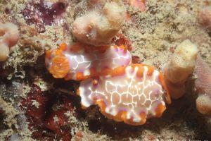アミダイロウミウシ Hypselodoris iacula