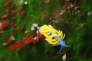 キツネビミノウミウシ Facelinid sp.11