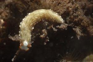 オシャレオトメウミウシ Dermatobranchus funiculus