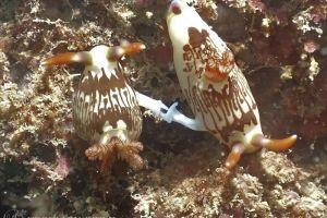 ネムブロータ・リネオラータ Nembrotha lineolata