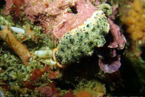 ホソジマオトメウミウシ