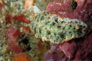 ホソジマオトメウミウシ Dermatobranchus nigropunctatus