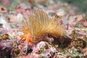 アカエラミノウミウシ Sakuraeolis enosimensis