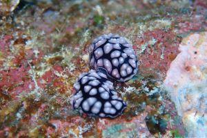 コイボウミウシ Phyllidiella pustulosa