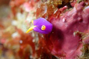 ムラサキウミコチョウ Sagaminopteron ornatum