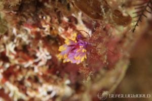 ミチヨミノウミウシ Trinchesia sibogae