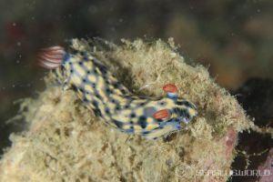 ホシゾラウミウシ Hypselodoris infucata